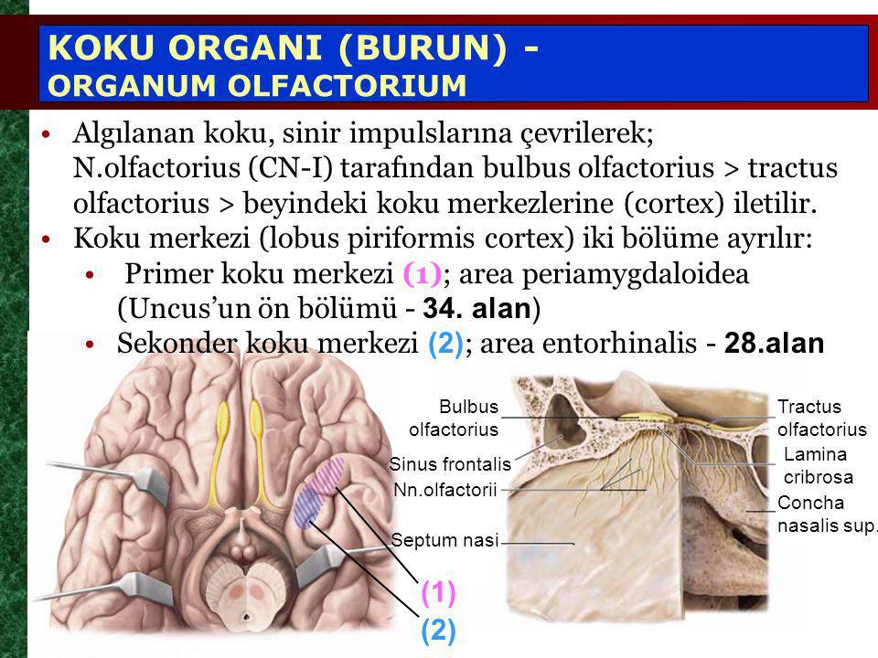 Algılanan koku, sinir impulslarına çevrilerek; N.olfactorius (CN-I) tarafından bulbus olfactorius > tractus olfactorius > beyindeki koku merkezlerine (cortex) iletilir.