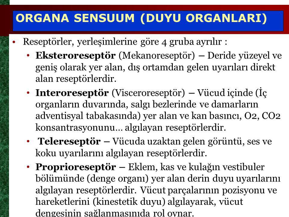 ORGANA SENSUUM (DUYU ORGANLARI) Reseptörler, yerleşimlerine göre 4 gruba ayrılır : Eksteroreseptör (Mekanoreseptör) – Deride yüzeyel ve geniş olarak y