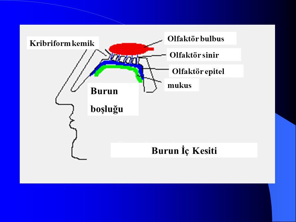 Olfaktör bulbus Olfaktör sinir Olfaktör epitel mukus Burun boşluğu Kribriform kemik Burun İç Kesiti
