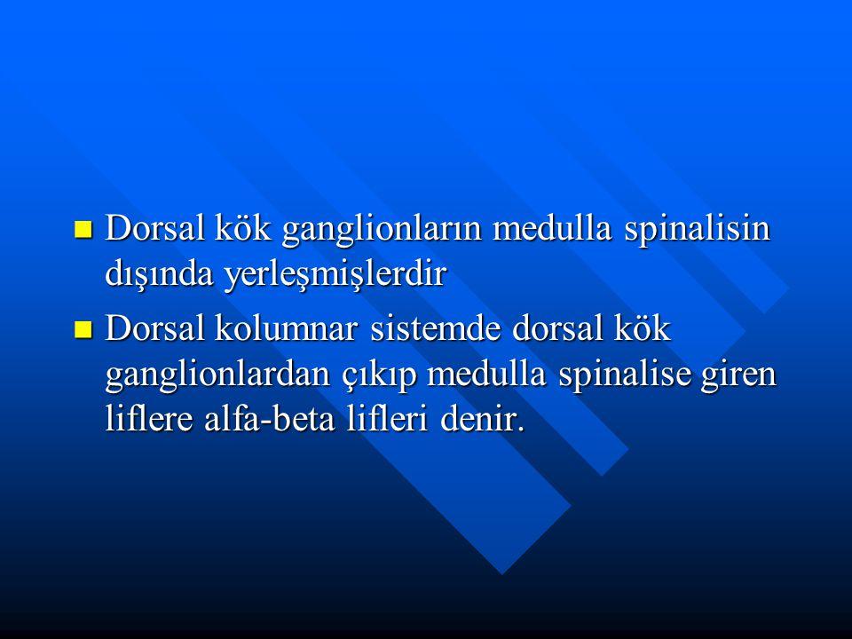 Dorsal kök ganglionların medulla spinalisin dışında yerleşmişlerdir Dorsal kök ganglionların medulla spinalisin dışında yerleşmişlerdir Dorsal kolumna