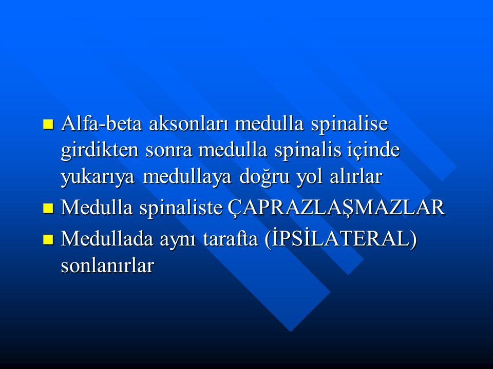 Alfa-beta aksonları medulla spinalise girdikten sonra medulla spinalis içinde yukarıya medullaya doğru yol alırlar Alfa-beta aksonları medulla spinali