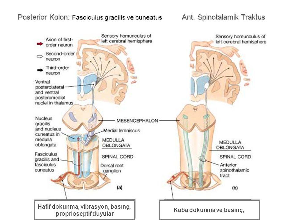 Posterior Kolon: Fasciculus gracilis ve cuneatus Ant. Spinotalamik Traktus Hafif dokunma, vibrasyon, basınç, proprioseptif duyular Kaba dokunma ve bas