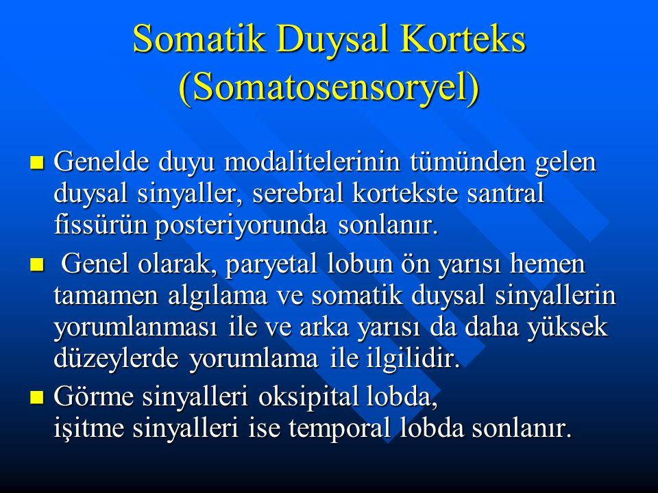 Somatik Duysal Korteks (Somatosensoryel) Genelde duyu modalitelerinin tümünden gelen duysal sinyaller, serebral kortekste santral fissürün posteriyoru