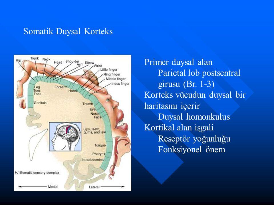 Somatik Duysal Korteks Primer duysal alan Parietal lob postsentral girusu (Br. 1-3) Korteks vücudun duysal bir haritasını içerir Duysal homonkulus Kor