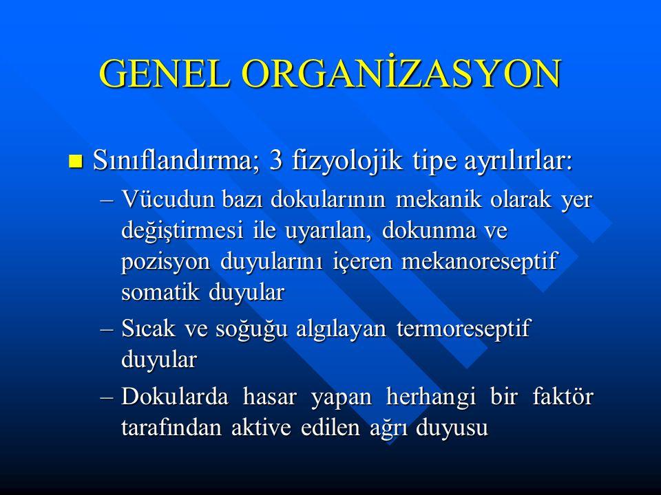 GENEL ORGANİZASYON Sınıflandırma; 3 fizyolojik tipe ayrılırlar: Sınıflandırma; 3 fizyolojik tipe ayrılırlar: –Vücudun bazı dokularının mekanik olarak