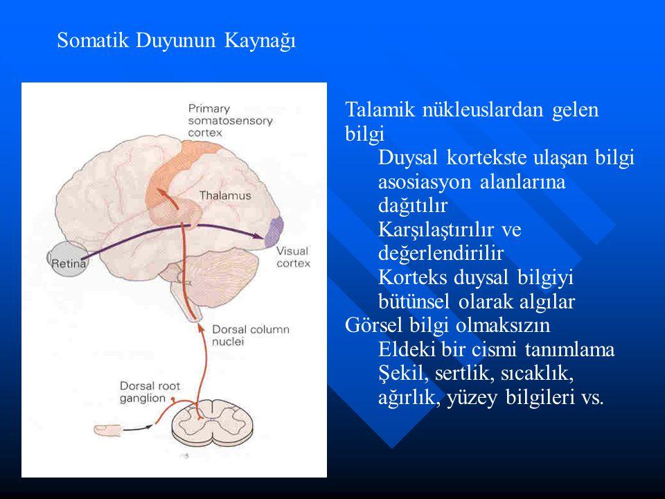 Somatik Duyunun Kaynağı Talamik nükleuslardan gelen bilgi Duysal kortekste ulaşan bilgi asosiasyon alanlarına dağıtılır Karşılaştırılır ve değerlendir