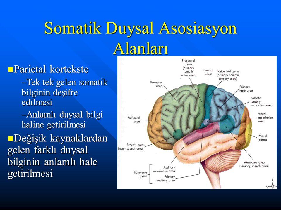 Somatik Duysal Asosiasyon Alanları Parietal kortekste Parietal kortekste –Tek tek gelen somatik bilginin deşifre edilmesi –Anlamlı duysal bilgi haline