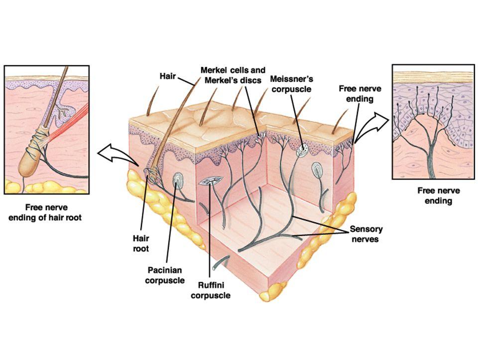 Dorsal kök ganglionlarının periferik uçlarında özelleşmiş reseptörler vardır.