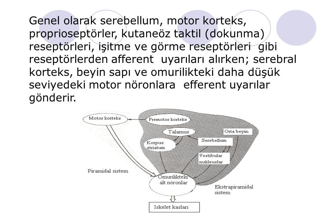 Duyusal kortex Motor kortex Premotor kortex Çeşitli duyusal reseptörlerden gelen afferent (duyusal) bilgilerin çoğunu alan bölgedir. Başparmak, işaret