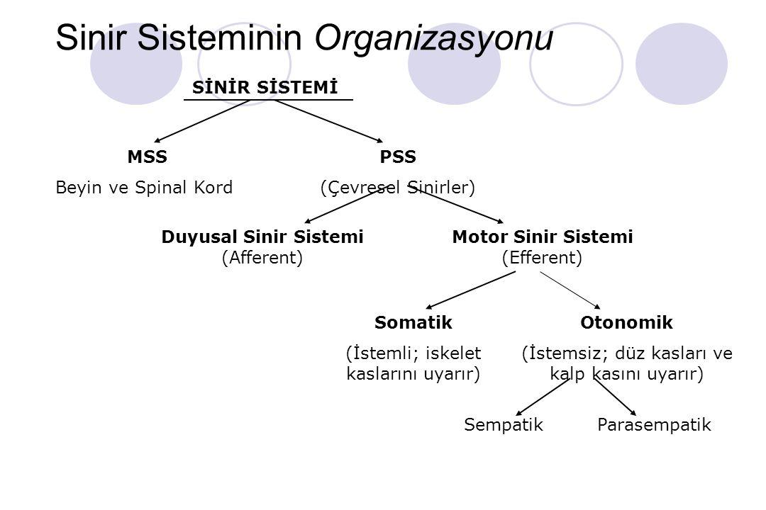 Sinir Sisteminin Organizasyonu SİNİR SİSTEMİ MSS Beyin ve Spinal Kord PSS (Çevresel Sinirler) Duyusal Sinir Sistemi (Afferent) Motor Sinir Sistemi (Efferent) Somatik (İstemli; iskelet kaslarını uyarır) Otonomik (İstemsiz; düz kasları ve kalp kasını uyarır) SempatikParasempatik