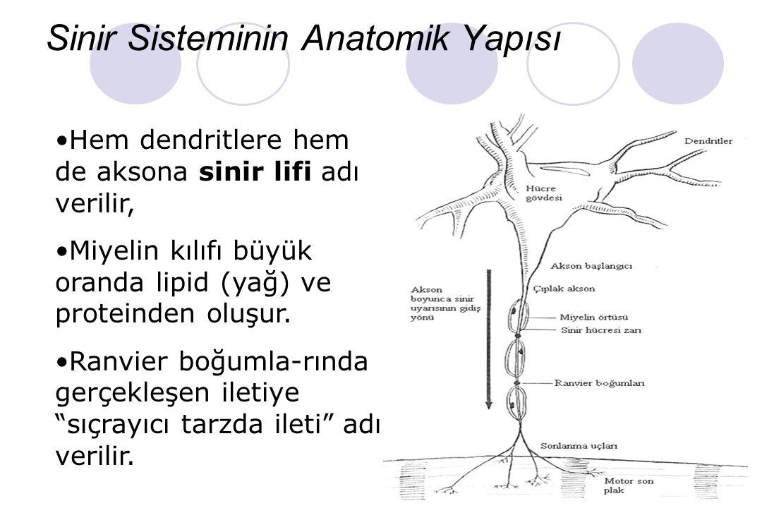 Sinir Sisteminin Organizasyonu SİNİR SİSTEMİ MSS Beyin ve Spinal Kord PSS (Çevresel Sinirler) Duyusal Sinir Sistemi (Afferent) Motor Sinir Sistemi (Ef