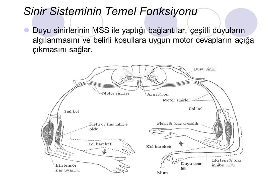 Sinir Sisteminin Temel Fonksiyonu Duyu sinirlerinin MSS ile yaptığı bağlantılar, çeşitli duyuların algılanmasını ve belirli koşullara uygun motor cevapların açığa çıkmasını sağlar.