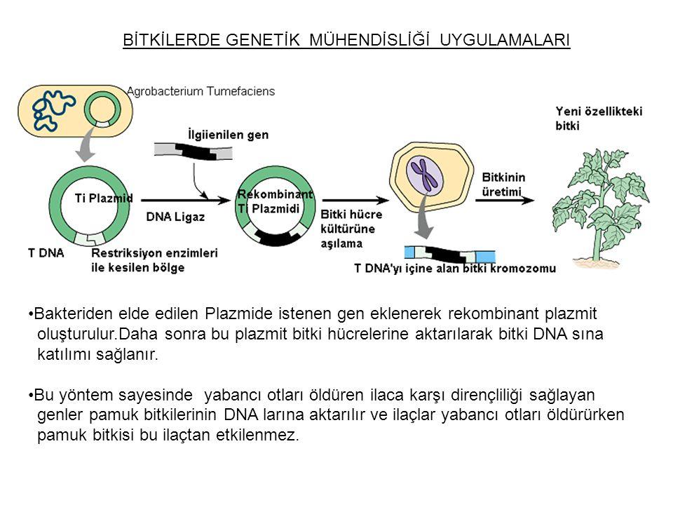 BİTKİLERDE GENETİK MÜHENDİSLİĞİ UYGULAMALARI Bakteriden elde edilen Plazmide istenen gen eklenerek rekombinant plazmit oluşturulur.Daha sonra bu plazm