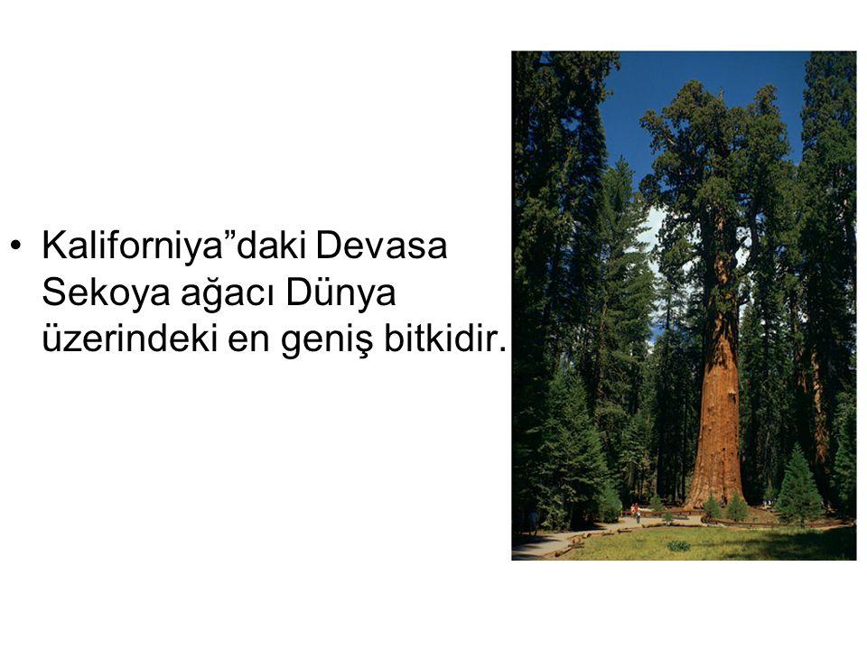 """Kaliforniya""""daki Devasa Sekoya ağacı Dünya üzerindeki en geniş bitkidir."""