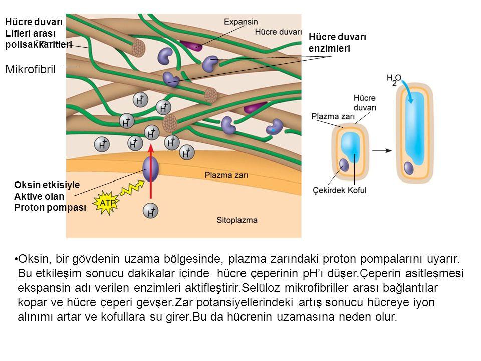 Mikrofibril Hücre duvarı Lifleri arası polisakkaritleri Hücre duvarı enzimleri Oksin etkisiyle Aktive olan Proton pompası Oksin, bir gövdenin uzama bö