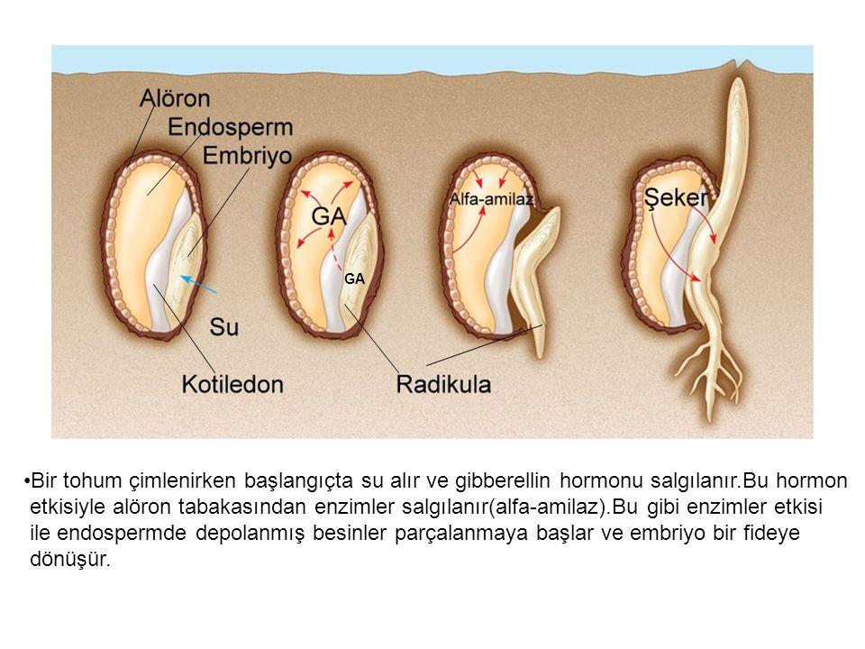 GA Bir tohum çimlenirken başlangıçta su alır ve gibberellin hormonu salgılanır.Bu hormon etkisiyle alöron tabakasından enzimler salgılanır(alfa-amilaz