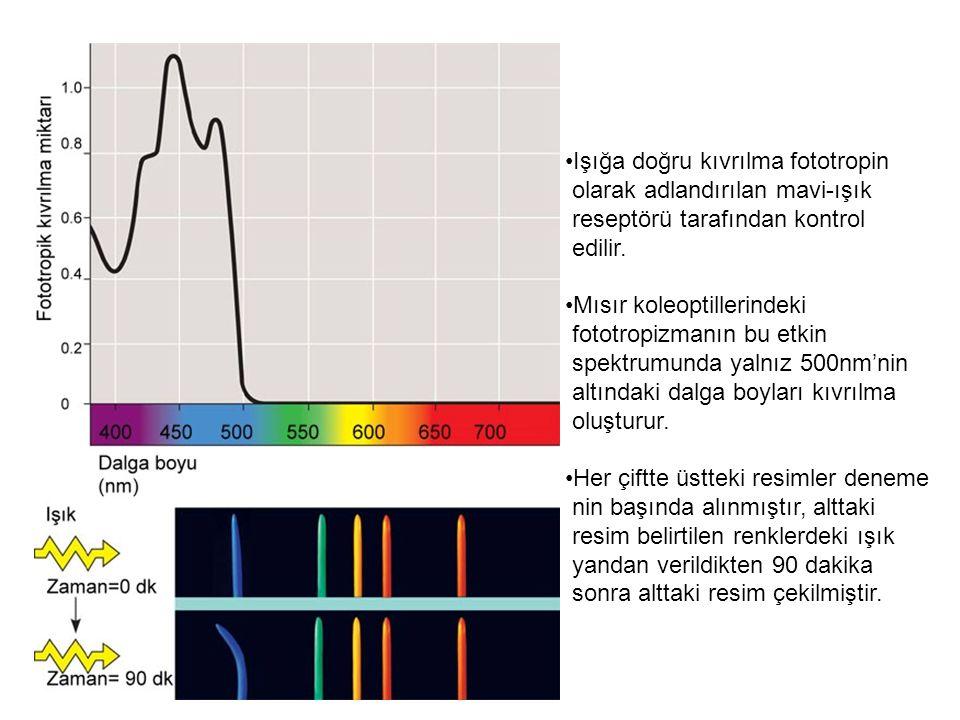Işığa doğru kıvrılma fototropin olarak adlandırılan mavi-ışık reseptörü tarafından kontrol edilir. Mısır koleoptillerindeki fototropizmanın bu etkin s
