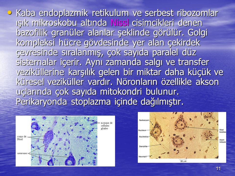 11 Kaba endoplazmik retikulum ve serbest ribozomlar ışık mikroskobu altında Nissl cisimcikleri denen bazofilik granüler alanlar şeklinde görülür.