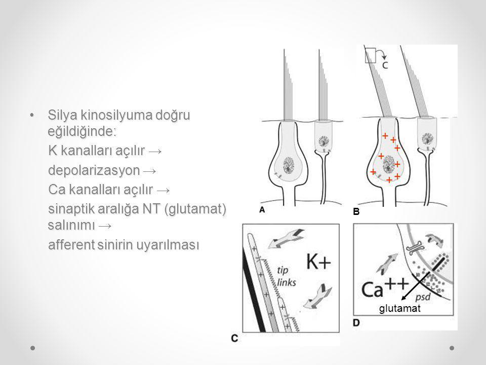Silya kinosilyuma doğru eğildiğinde:Silya kinosilyuma doğru eğildiğinde: K kanalları açılır K kanalları açılır → depolarizasyon depolarizasyon → Ca kanalları açılır Ca kanalları açılır → sinaptik aralığa NT (glutamat) salınımı sinaptik aralığa NT (glutamat) salınımı → afferent sinirin uyarılması afferent sinirin uyarılması B + + + + + + + + glutamat