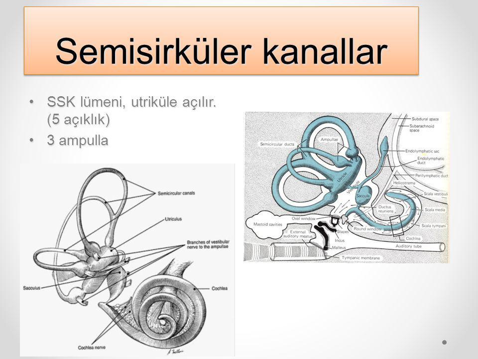 Semisirküler kanallar SSK lümeni, utriküle açılır.