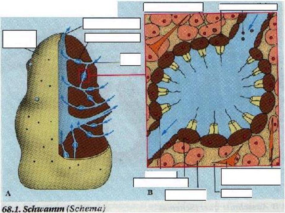 §Ascon tipi süngerlerde vücudun dışı bir sıra epitel hücresi ile örtülüdür.