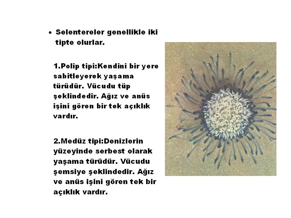 Physalia physalianın dokunaç yapısı