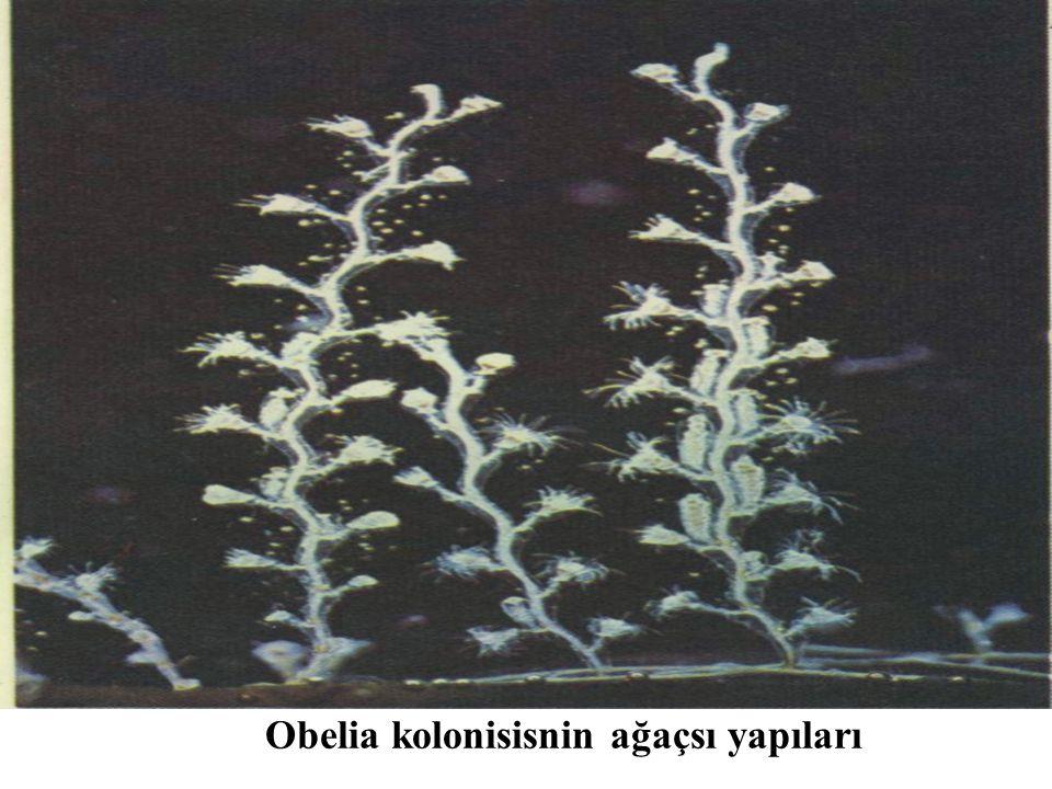 Obelia kolonisisnin ağaçsı yapıları