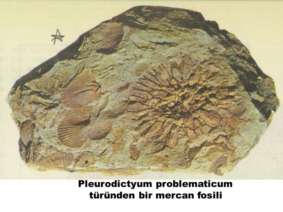 Pleurodictyum problematicum türünden bir mercan fosili