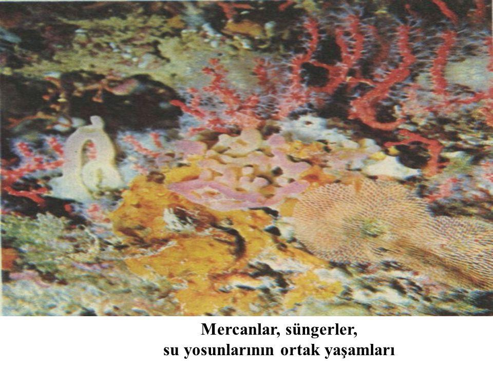 Mercanlar, süngerler, su yosunlarının ortak yaşamları