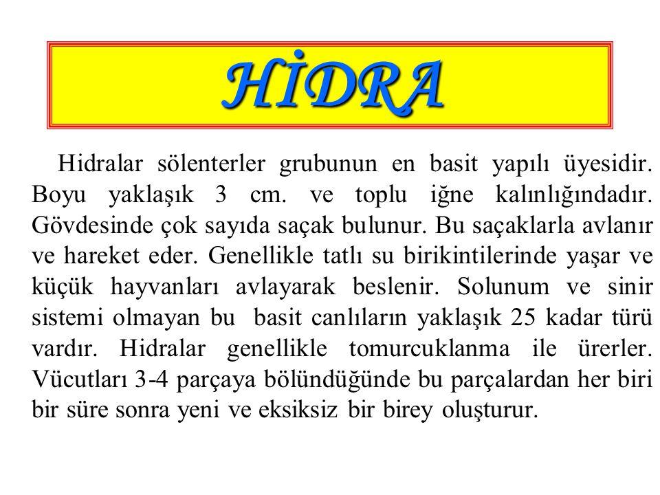 HİDRA Hidralar sölenterler grubunun en basit yapılı üyesidir. Boyu yaklaşık 3 cm. ve toplu iğne kalınlığındadır. Gövdesinde çok sayıda saçak bulunur.