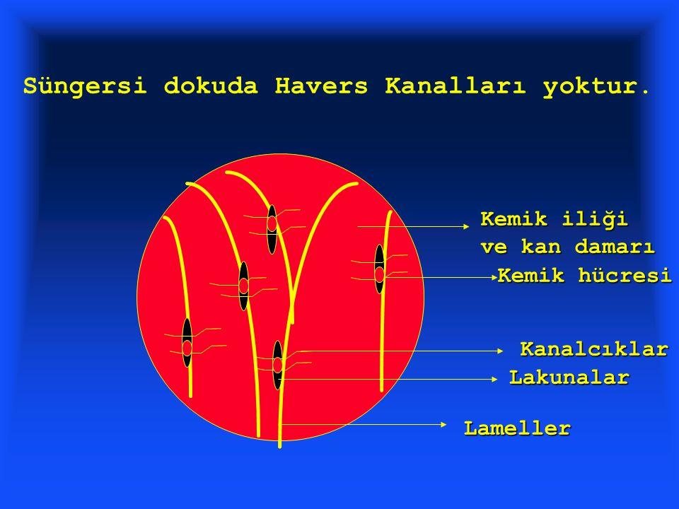 Kemik iliği ve kan damarı Lakunalar Kemik hücresi Kanalcıklar Lameller Süngersi dokuda Havers Kanalları yoktur.
