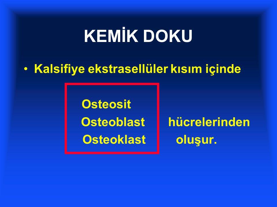 KEMİK DOKU Kalsifiye ekstrasellüler kısım içinde Osteosit Osteoblast hücrelerinden Osteoklast oluşur.