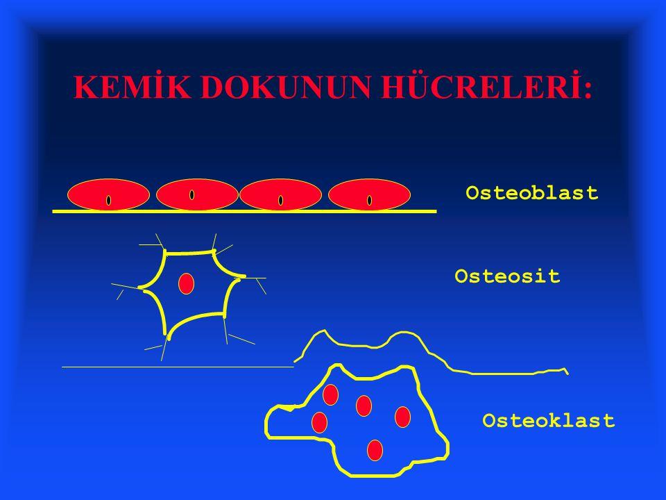 KEMİK DOKUNUN HÜCRELERİ: Osteoblast Osteosit Osteoklast