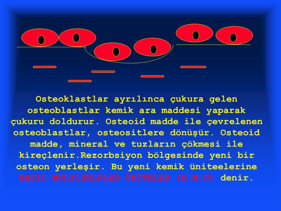 Osteoklastlar ayrılınca çukura gelen osteoblastlar kemik ara maddesi yaparak çukuru doldurur.