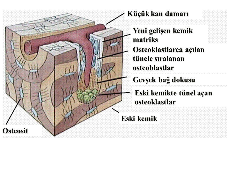 Osteosit Küçük kan damarı Yeni gelişen kemik matriks Osteoklastlarca açılan tünele sıralanan osteoblastlar Gevşek bağ dokusu Eski kemikte tünel açan osteoklastlar Eski kemik