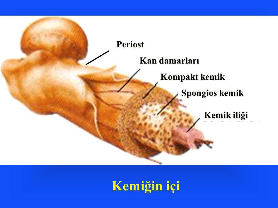 Kemiğin içi Periost Kan damarları Kompakt kemik Spongios kemik Kemik iliği