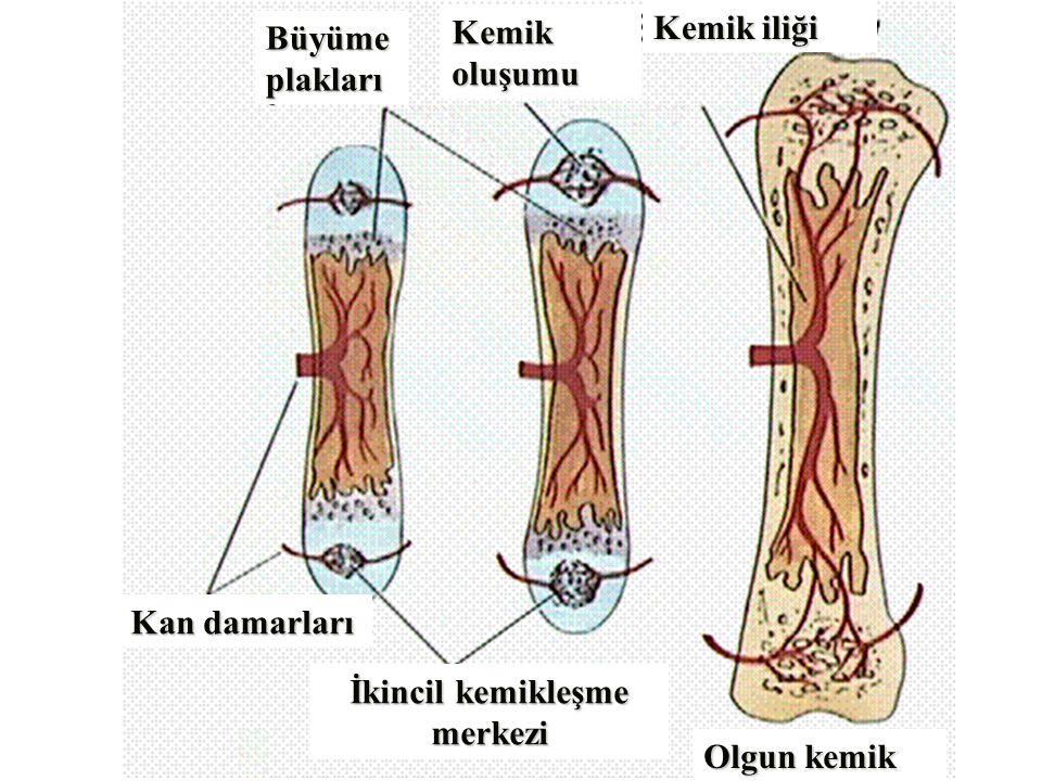 Büyümeplakları Kemikoluşumu Kemik iliği Kan damarları İkincil kemikleşme merkezi Olgun kemik