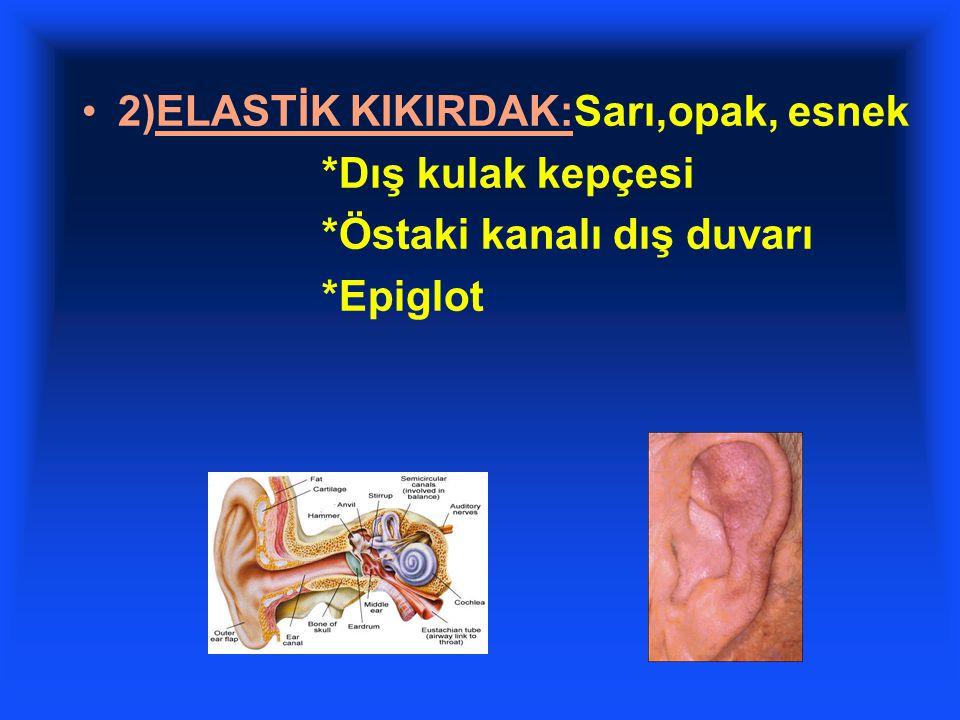 2)ELASTİK KIKIRDAK:Sarı,opak, esnek *Dış kulak kepçesi *Östaki kanalı dış duvarı *Epiglot