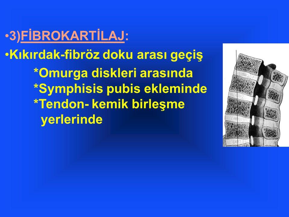 3)FİBROKARTİLAJ: Kıkırdak-fibröz doku arası geçiş *Omurga diskleri arasında *Symphisis pubis ekleminde *Tendon- kemik birleşme yerlerinde