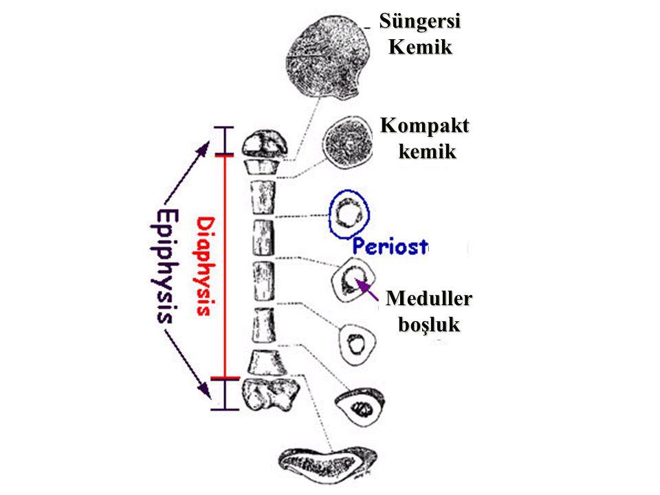 KOMPAKT KEMİK (Tıkız kemik) Kemiklerin çevresinde tıkız ve dayanıklı bir tabaka yapar.