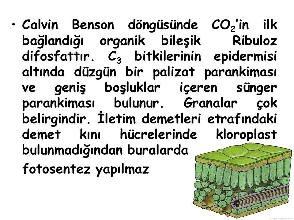 Calvin Benson döngüsünde CO 2 'in ilk bağlandığı organik bileşik Ribuloz difosfattır. C 3 bitkilerinin epidermisi altında düzgün bir palizat parankima