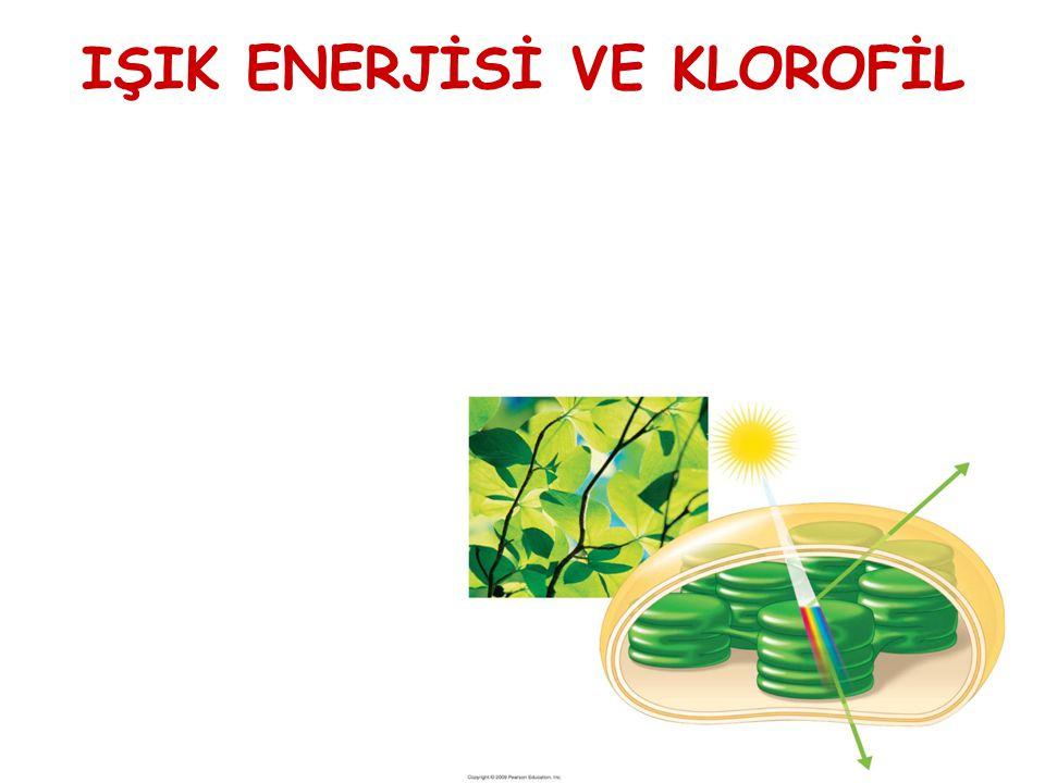 IŞIK ENERJİSİ VE KLOROFİL