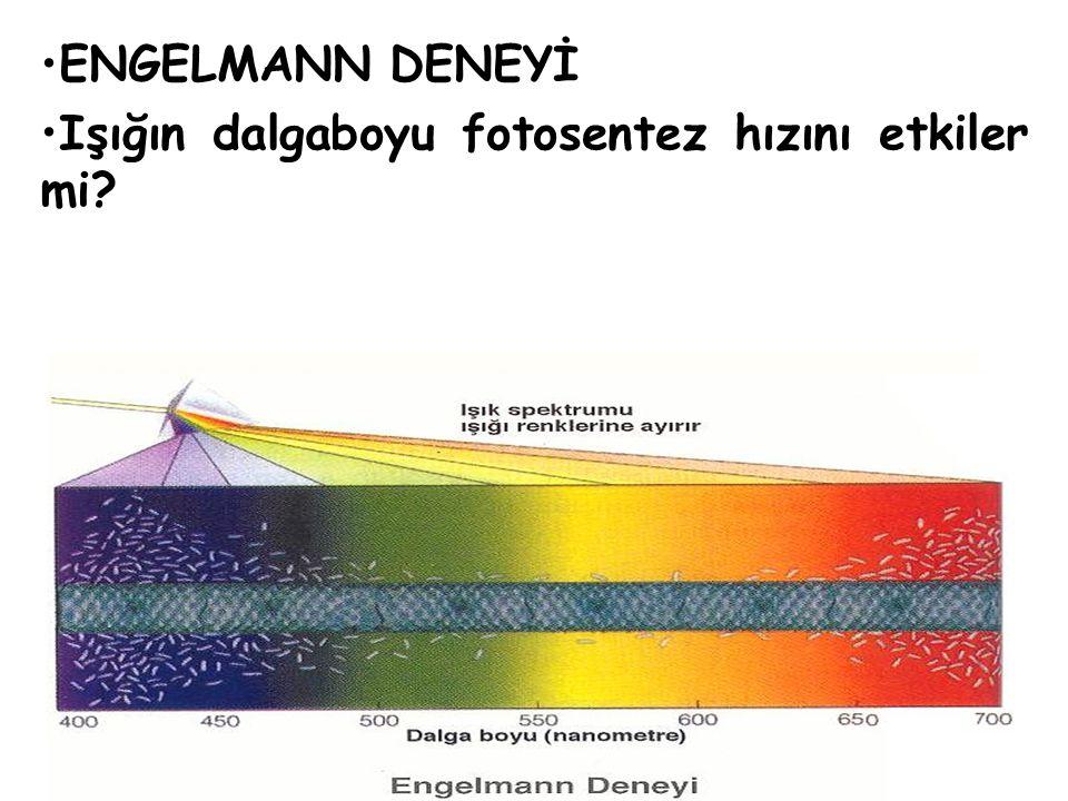 ENGELMANN DENEYİ Işığın dalgaboyu fotosentez hızını etkiler mi?