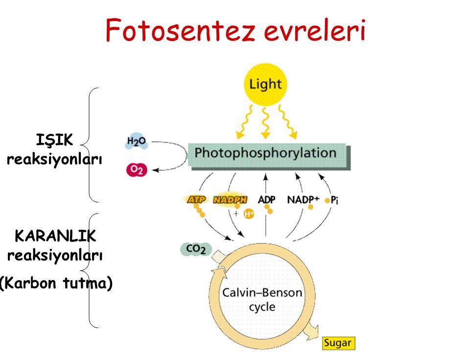 Fotosentez evreleri IŞIK reaksiyonları KARANLIK reaksiyonları (Karbon tutma)