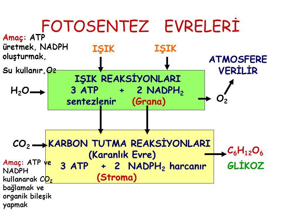 FOTOSENTEZ EVRELERİ IŞIK REAKSİYONLARI 3 ATP + 2 NADPH 2 sentezlenir (Grana) KARBON TUTMA REAKSİYONLARI (Karanlık Evre) 3 ATP + 2 NADPH 2 harcanır (St