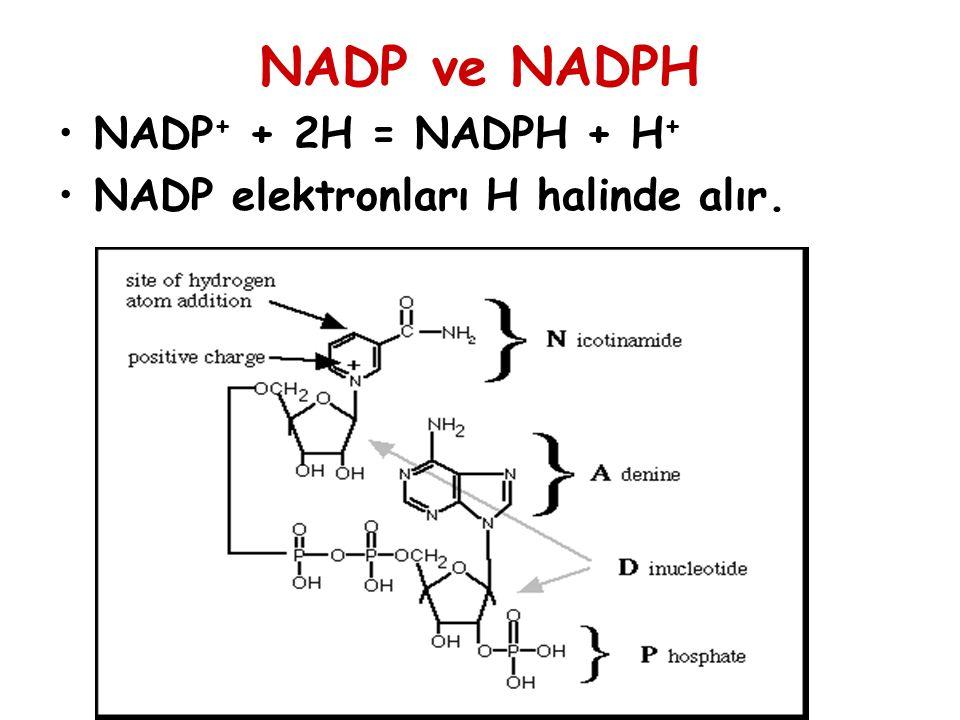 NADP ve NADPH NADP + + 2H = NADPH + H + NADP elektronları H halinde alır.