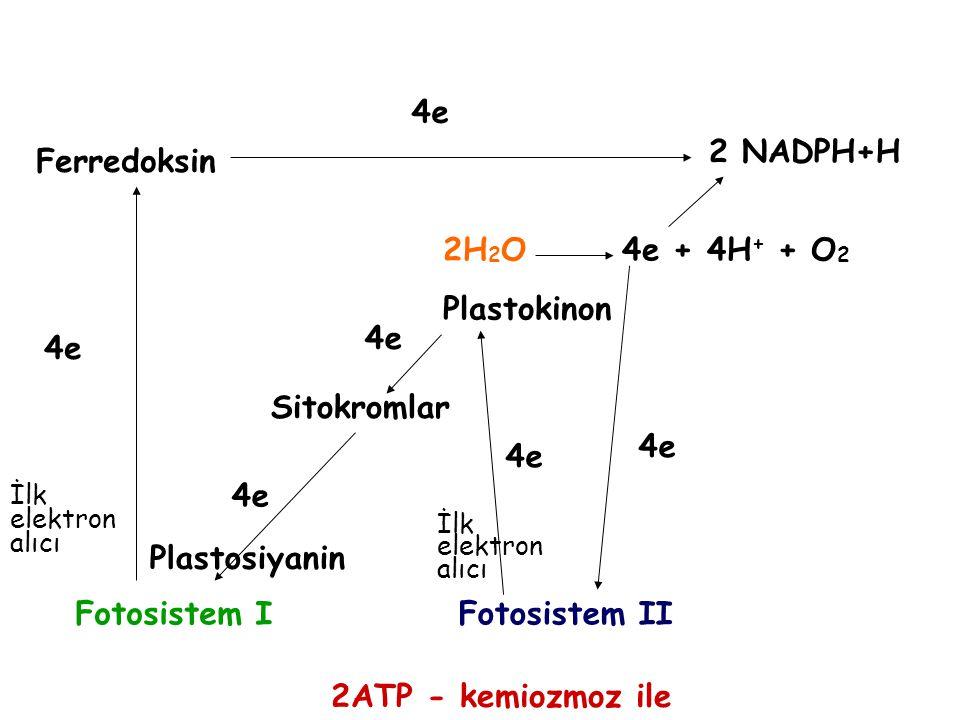 Ferredoksin Plastokinon Sitokromlar Fotosistem IFotosistem II 2 NADPH+H 2ATP - kemiozmoz ile 2H 2 O 4e + 4H + + O 2 4e Plastosiyanin İlk elektron alıc