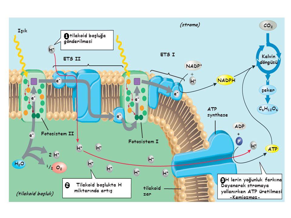 H tilakoid boşluğa gönderilmesi ATP synthase Fotosistem I Fotosistem II tilakoid zar Işık  + P ATP NADP + ADP NADPH Kalvin döngüsü CO 2 C 6 H 12 O 6