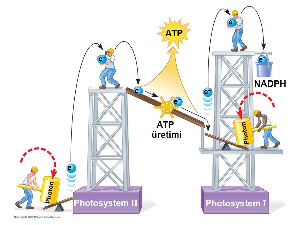 NADPH Photosystem II e–e– ATP üretimi Photon Photosystem I ATP e–e– e–e– e–e– e–e– e–e– e–e– Photon