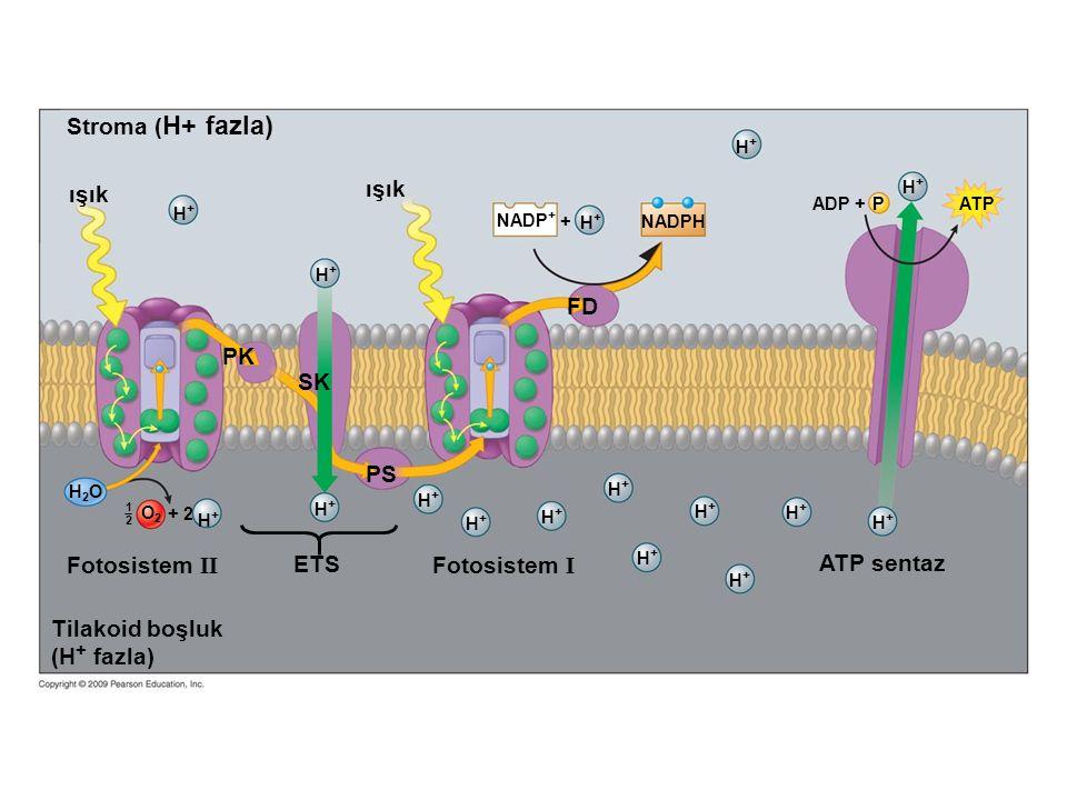 + O2O2 H2OH2O 1212 H+H+ NADP + H+H+ NADPH + 2 H+H+ H+H+ H+H+ H+H+ H+H+ H+H+ H+H+ H+H+ H+H+ H+H+ H+H+ H+H+ H+H+ H+H+ Fotosistem II Fotosistem I ETS A